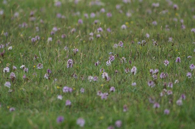 Heath Spotted Orchids (Dactylorhiza maculata), Haroldswick