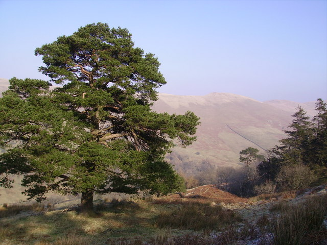 Scots Pine, Greyrigg Forest