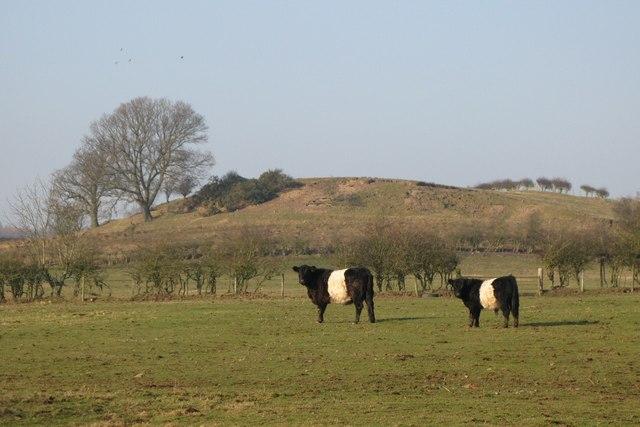 Belted Galloways grazing near Rawgreen