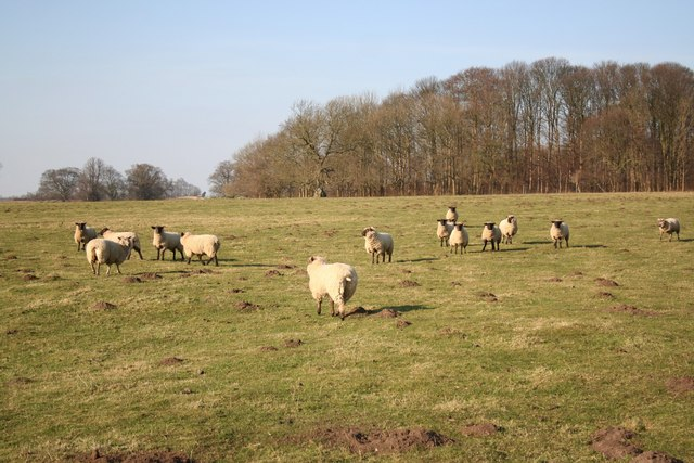 Scrivelsby sheep