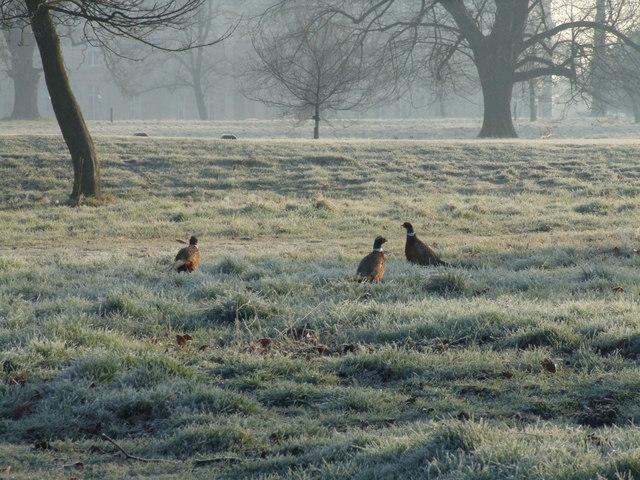 3 Pheasants at Luton Hoo