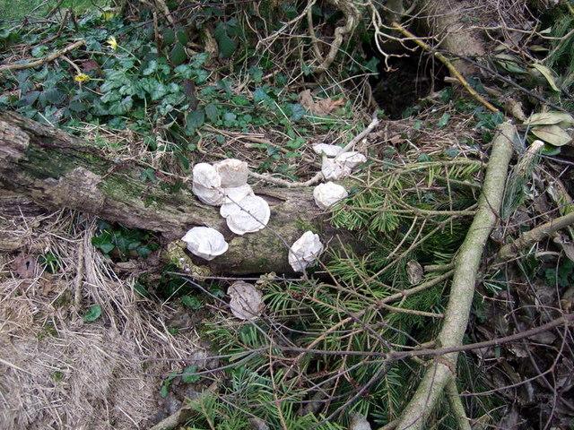 Typhoo fungus?
