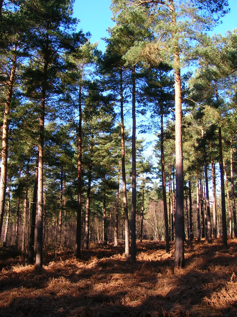 Pines, Broadwater Forest