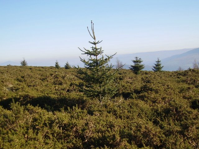 Gorse and fir trees