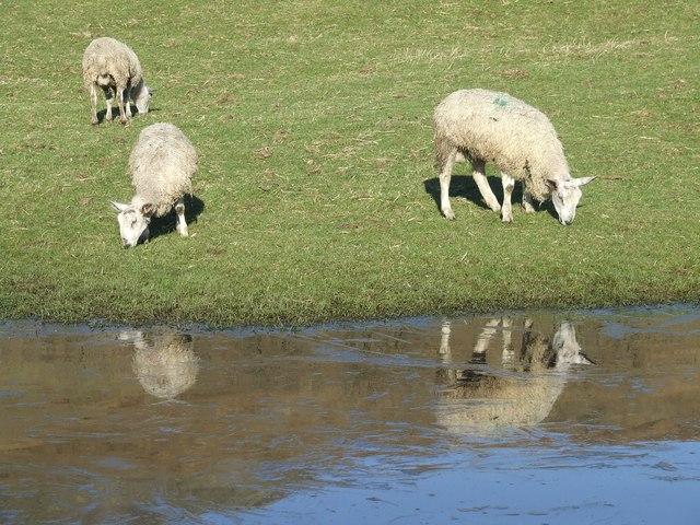 Sheep Grazing near a frozen pond