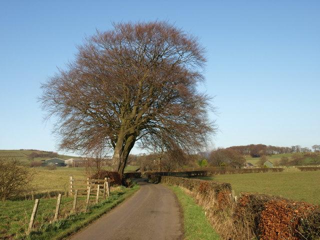 Beech trees, Hoodsyard Farm