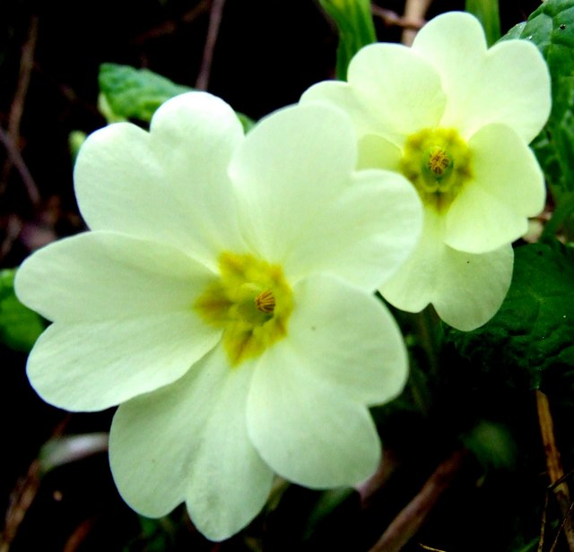 The first primroses of the year