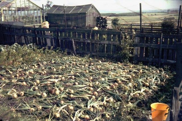 Onion crop, rear of 4 Railway Terrace, Stanley, Crook
