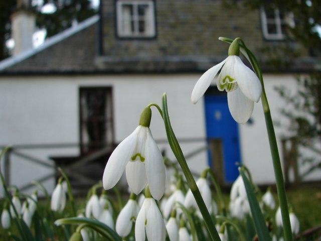 Snowdrops at Gardens Cottage