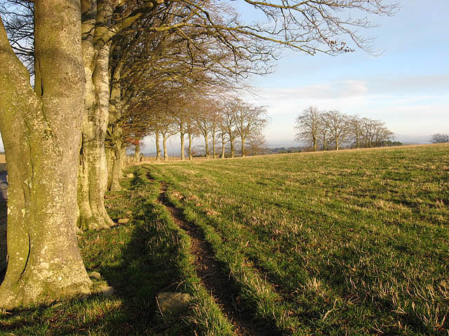 Pasture field and beech trees