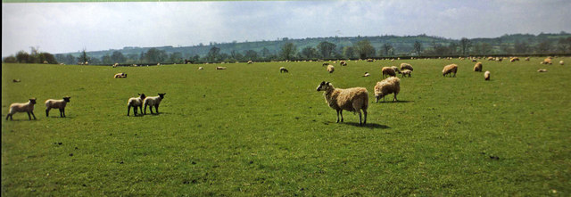 Sheep in Field, Bourton on the Water, Gloucestershire