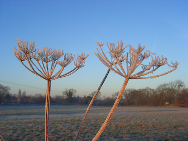 Frosty umbels, Charvil Meadows