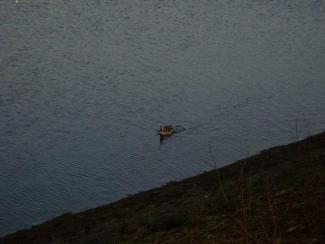 Large bird on Craigmaddie Reservoir