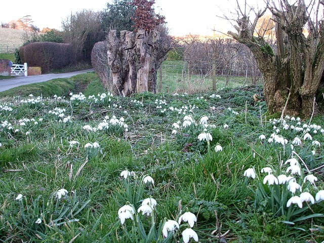 Snowdrops in the verge