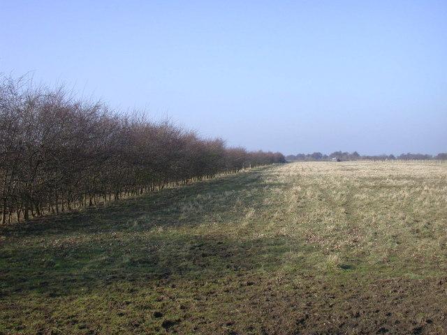 Fields and windbreak by Twenty Pence Road