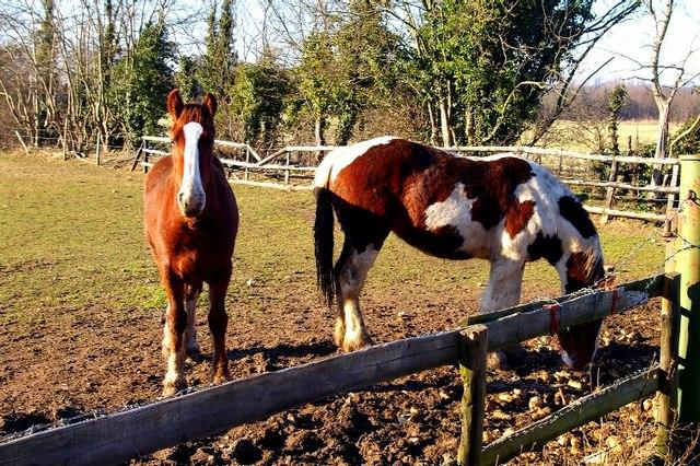 Skewbald horses