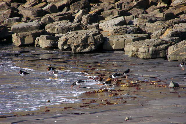 Oystercatchers on the shore, Charnel