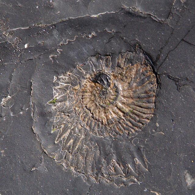 Crushed ammonite fossil, Kimmeridge Bay