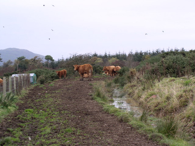 Cattle on Heronsford Trail