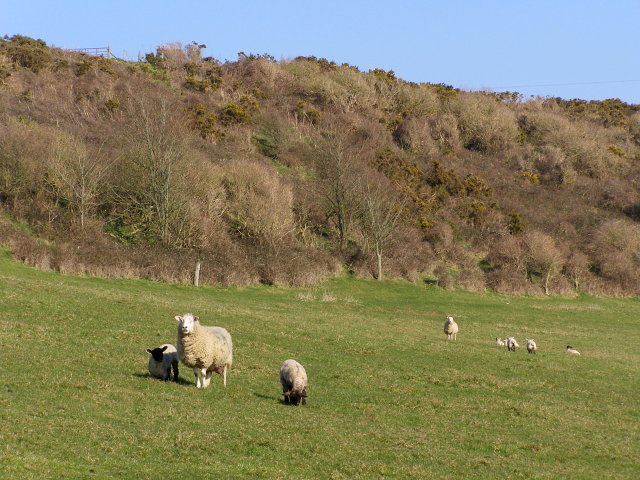 Sheep and lambs, Kimmeridge Farm
