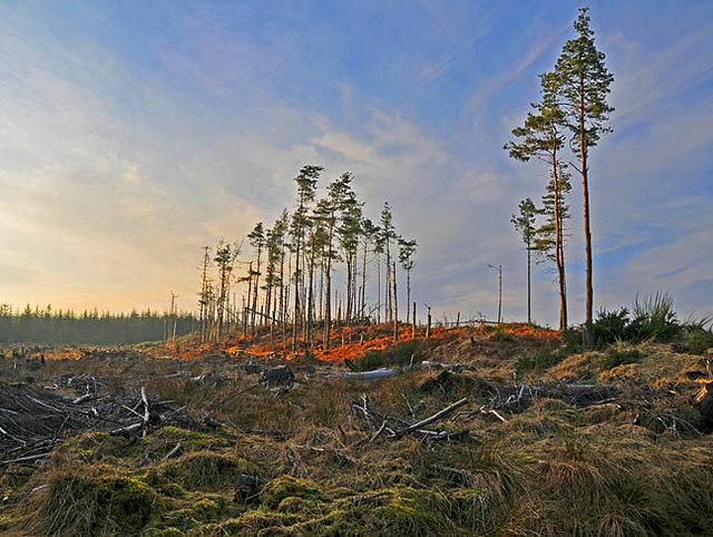 Felled area in Gorthy Wood