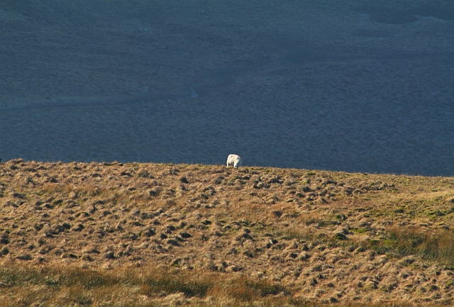 Sheep on Scale Fell