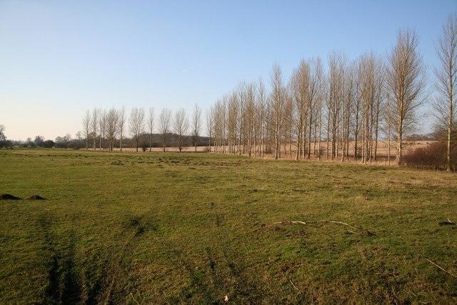 Poplars in Scrivelsby Park