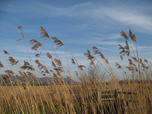 Common reed on Weston Moor