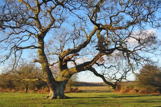 Ancient Oak pollard Brockenhurst New Forest