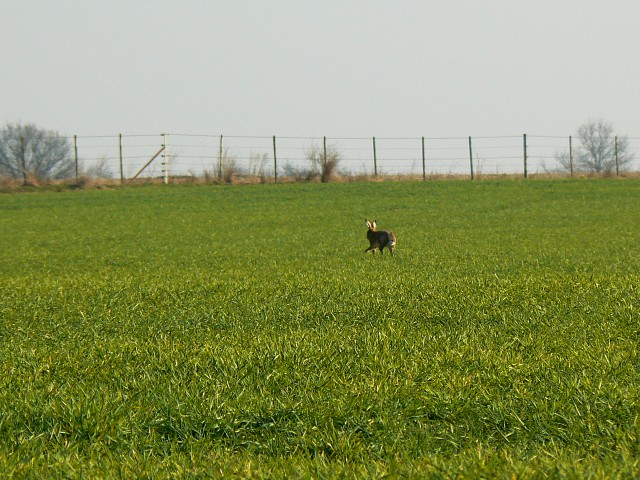 Field with hare and fence, near Heath Green, Hampshire