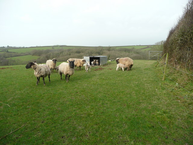 Ewes and lambs 4