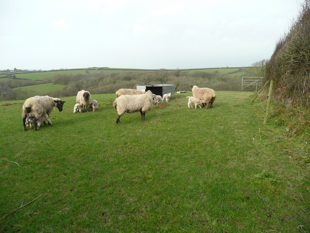 Ewes and lambs 5