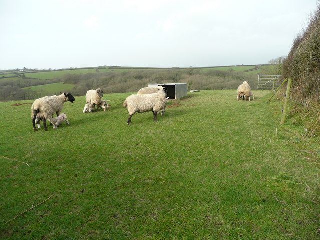 Ewes and lambs 6