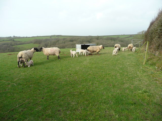 Ewes and lambs 7