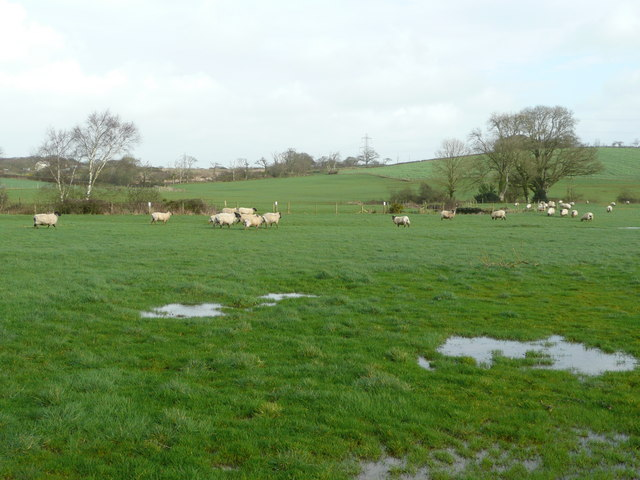 Sheep grazing the Tamar meadows