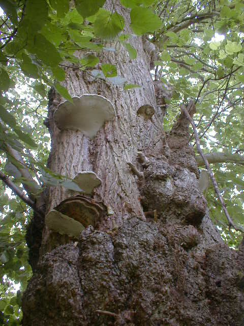 Fungi on Tree in Nacton Churchyard
