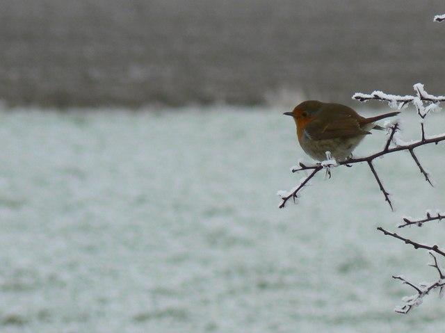 Robin on a Hawthorn Twig