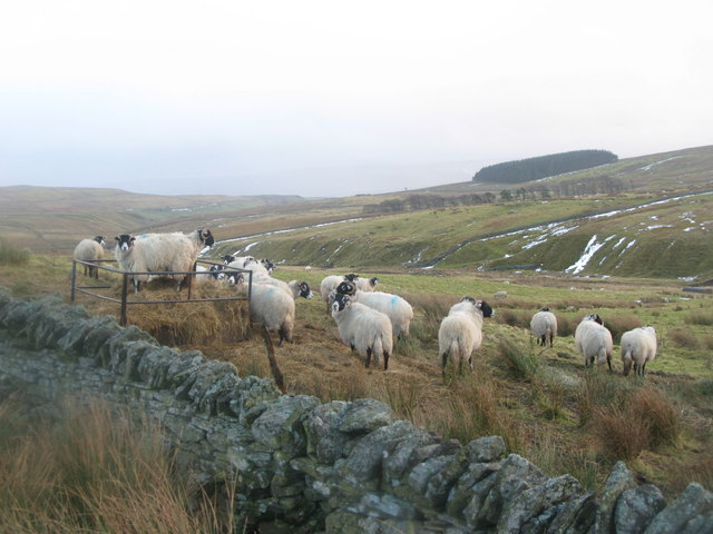 Sheep feeding in the valley of Middlehope Burn