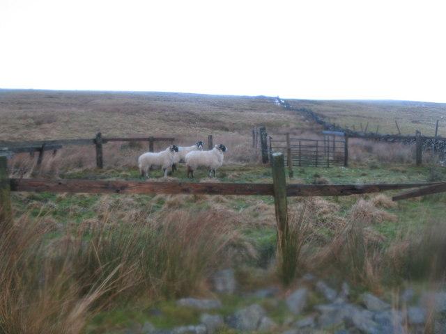 Self-folding sheep