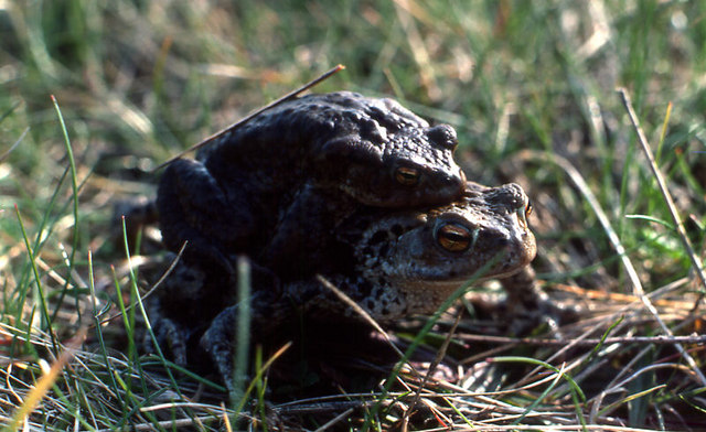 Mating Common Toads (Bufo bufo), Cabin Hill, Formby