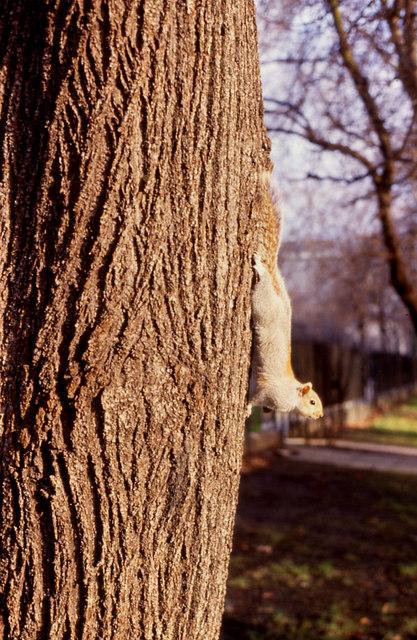 Grey Squirrel (Sciurus carolinensis). Hyde Park
