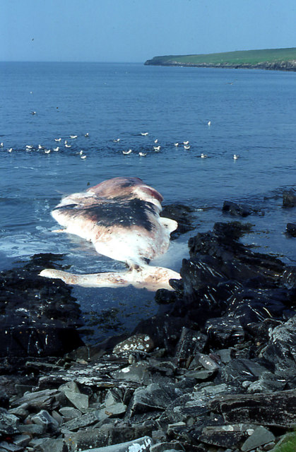 Dead whale in Aith Voe, Bressay