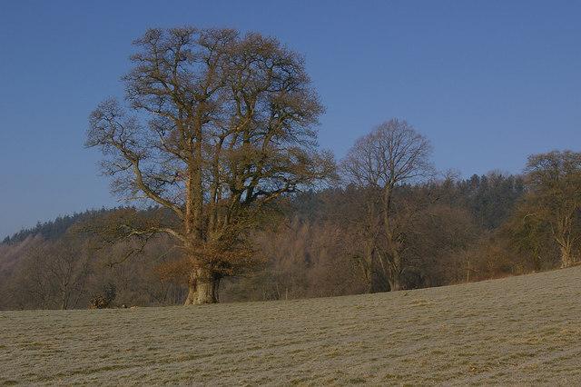 Oak tree, in field north of Burrington - in winter