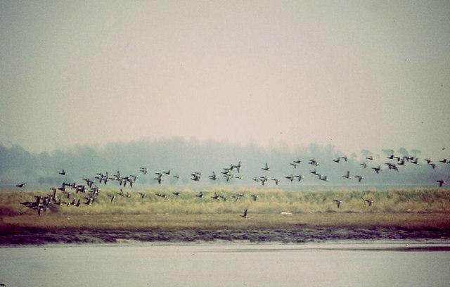 Brent Geese (Branta bernicla) on the Deben Estuary
