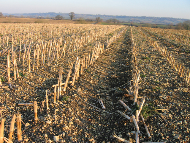 Maize stubble on brashy soil, Preston, Wilts