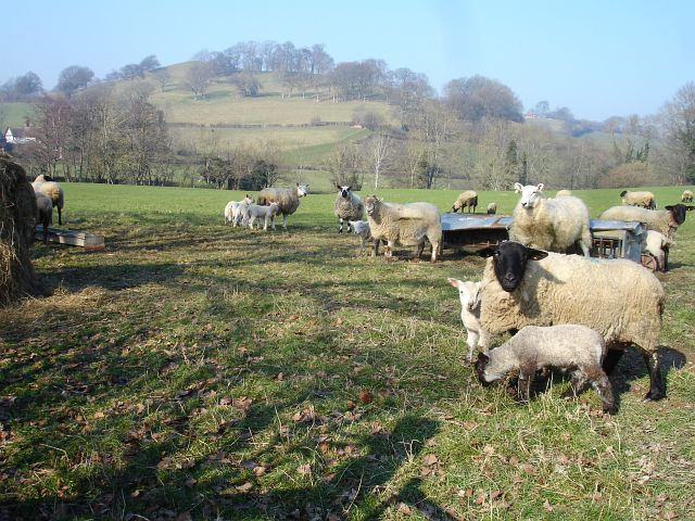 Ewes and lambs near Bechan Brook