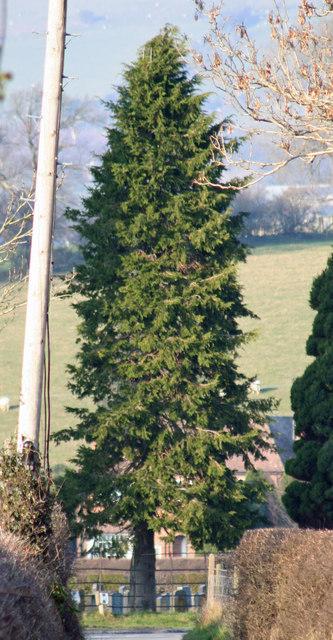 Tree Tall