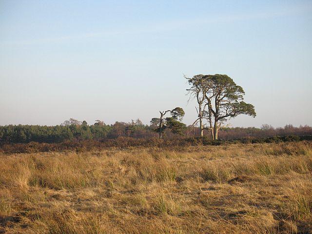 Pines, Lightfield