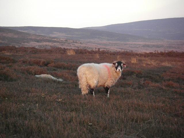 Sheep, Grizedale Fell