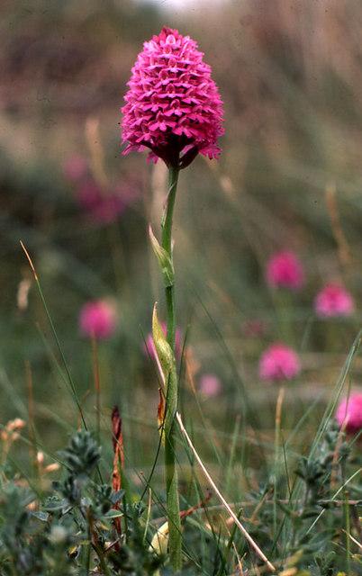 Pyramidal Orchid (Anacamptis pyramidalis), Rhosneigr